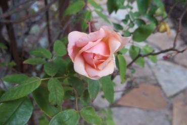 Rozes dārzniekam